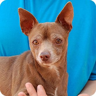 Chihuahua Mix Dog for adoption in Las Vegas, Nevada - Angelo