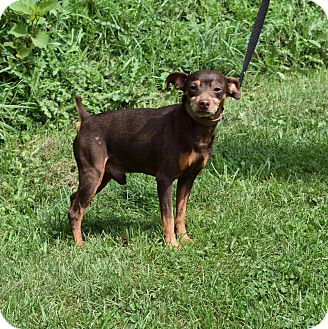 Miniature Pinscher Dog for adoption in Washington, Pennsylvania - Scooby