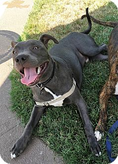 American Staffordshire Terrier Puppy for adoption in San Juan Capistrano, California - Greyson