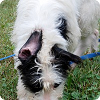 Adopt A Pet :: Spot - Salem, WV