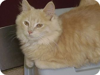 Domestic Mediumhair Cat for adoption in Muscatine, Iowa - Dusty