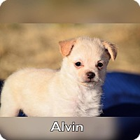 Terrier (Unknown Type, Small) Mix Puppy for adoption in Rosamond, California - Alvin