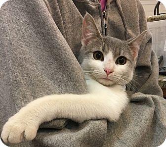 Domestic Shorthair Kitten for adoption in Alpharetta, Georgia - Tavern