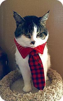 Domestic Shorthair Cat for adoption in Burlington, North Carolina - BENNETT