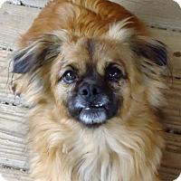 Tibetan Spaniel/Pekingese Mix Dog for adoption in Spartanburg, South Carolina - Gizmo