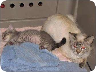 Siamese Kitten for adoption in Roseville, Minnesota - Athena and Allie