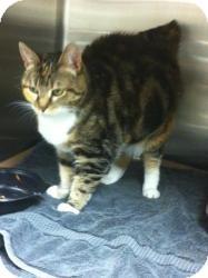Domestic Shorthair Cat for adoption in Sinking Spring, Pennsylvania - Nekay