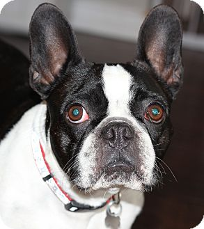 | Adopted Dog | San Pedro, CA | French Bulldog/Boston Terrier Mix
