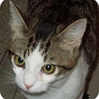 Domestic Shorthair Cat for adoption in Jacksonville, North Carolina - Magnum