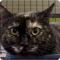 Domestic Mediumhair Cat for adoption in Chattanooga, Tennessee - Gingerella