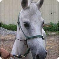 Adopt A Pet :: Hafeeda - Dewey, IL