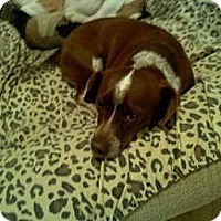 Adopt A Pet :: Cocobean - Phoenix, AZ