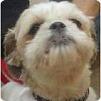 Adopt A Pet :: Shania - Cleveland, OH