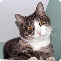 Domestic Shorthair Cat for adoption in Harrison, New York - Scarlett