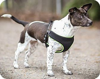 Toy Fox Terrier Mix Dog for adoption in Yelm, Washington - Lucy