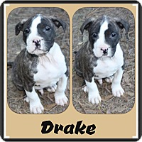 Adopt A Pet :: Drake meet me 3/18 - Manchester, CT