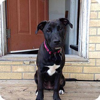 Labrador Retriever/Border Collie Mix Dog for adoption in London, Ontario - Checkers