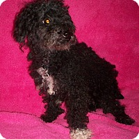 Poodle (Toy or Tea Cup) Dog for adoption in Sullivan, Missouri - Licorice