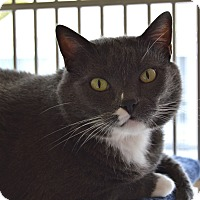 Domestic Shorthair Cat for adoption in Santa Barbara, California - Max
