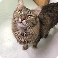 Domestic Longhair Cat for adoption in Diamond Springs, California - Gretchen