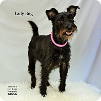 Adopt A Pet :: Lady Bug - Spring, TX