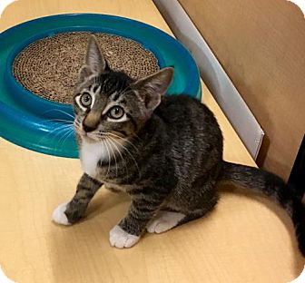 Domestic Shorthair Cat for adoption in East Brunswick, New Jersey - Murtagh