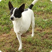 Rat Terrier Mix Dog for adoption in Spring Valley, New York - Gnash