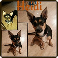 Chihuahua Mix Dog for adoption in Snyder, Texas - Heidi