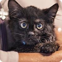 Adopt A Pet :: Rocco - St Helena, CA