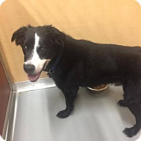 Adopt A Pet :: Oreo - St. Charles, MO
