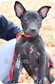Australian Cattle Dog Mix Puppy for adoption in DFW, Texas - BonBon
