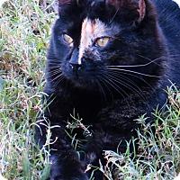 Calico Cat for adoption in Gonzales, Texas - Darva