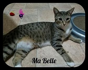 Domestic Shorthair Cat for adoption in Orlando, Florida - MaBelle (GP) 9.1.15