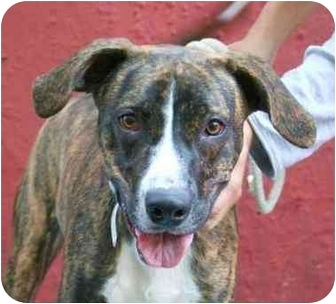 Tony Adopted Puppy Brooklyn Ny Boxer Greyhound Mix