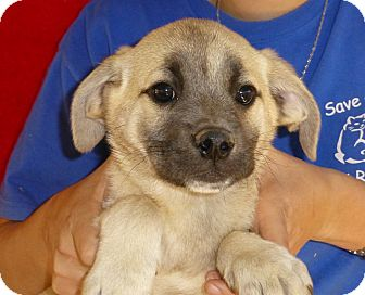 Pug/Beagle Mix Puppy for adoption in Oviedo, Florida - Mark
