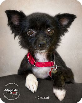 Chihuahua Mix Dog for adoption in Phoenix, Arizona - Giovanni