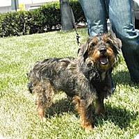 Adopt A Pet :: Scruff-a-luff - Imperial Beach, CA