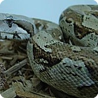 Adopt A Pet :: Red Tailed Boa #1 - Lake Forest, CA