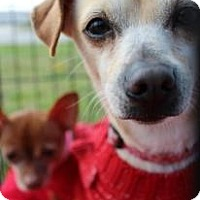 Adopt A Pet :: Dolly - Justin, TX