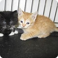 Adopt A Pet :: Cat X001 - Rocky Mount, NC