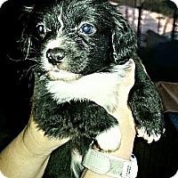Adopt A Pet :: Scrooge - Vista, CA