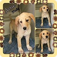 Adopt A Pet :: Artie adoption pending - Manchester, CT