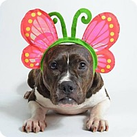 American Staffordshire Terrier/English Bulldog Mix Dog for adoption in Kenner, Louisiana - Madeline