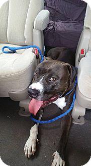 American Staffordshire Terrier Mix Dog for adoption in Burlington, North Carolina - Felix