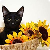 Adopt A Pet :: Ashton - Hazel Park, MI