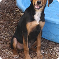 Beagle/Hound (Unknown Type) Mix Dog for adoption in Canton, Connecticut - Ranger