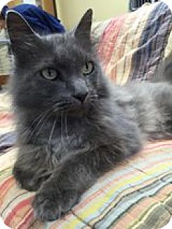 Domestic Mediumhair Cat for adoption in Maryville, Missouri - Nigel