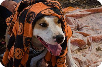 Harrier Mix Dog for adoption in Phoenix, Arizona - SHELBY