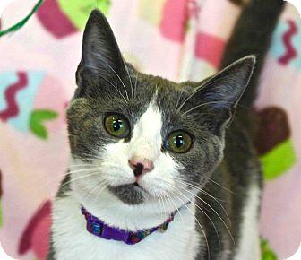 Domestic Mediumhair Kitten for adoption in Lansing, Kansas - Bea