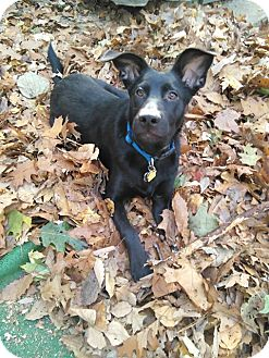 Labrador Retriever Puppy for adoption in Tenafly, New Jersey - Chester